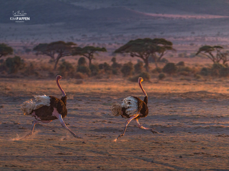 Wildlife Photography in Kenya: Ostriches in Amboseli