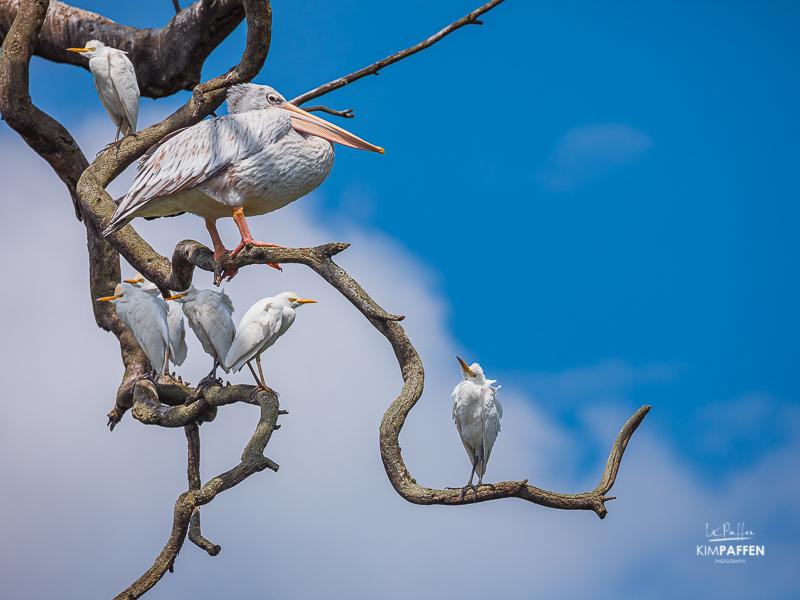 Bird Photography: Pelicans and white birds Uganda