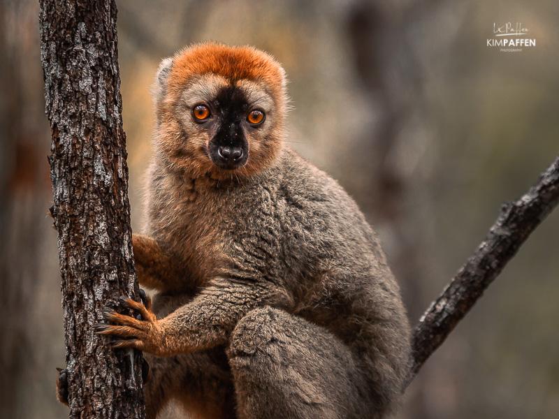 Wildlife Photography Madagascar: Brown Lemur