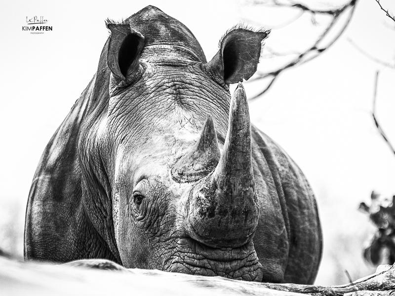 Wildlife Photography in Zambia: White Rhino