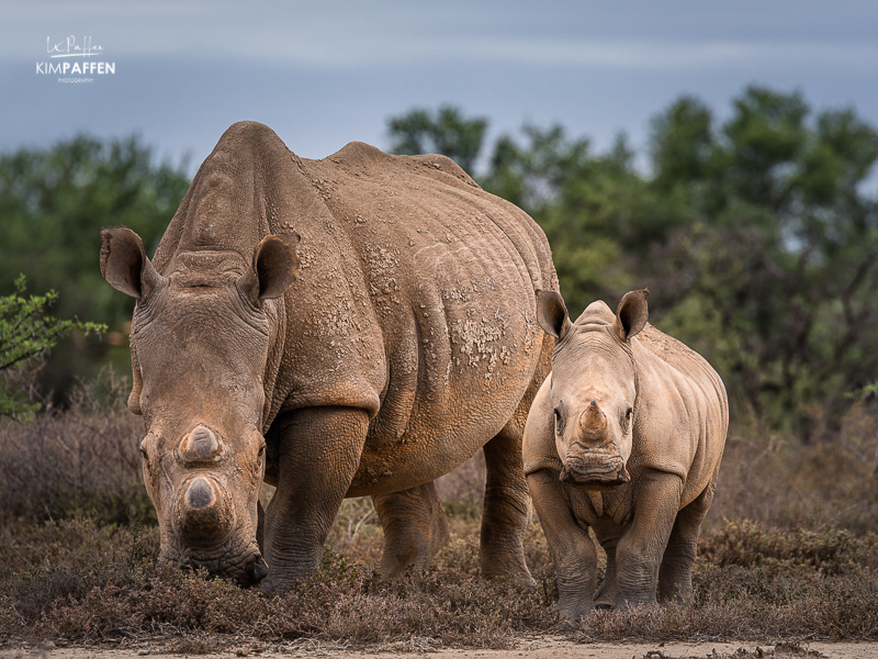 Wildlife Photography: Rhinos Karoo South Africa