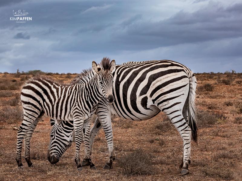 Wildlife Photography South Africa: Zebras Addo Elephant