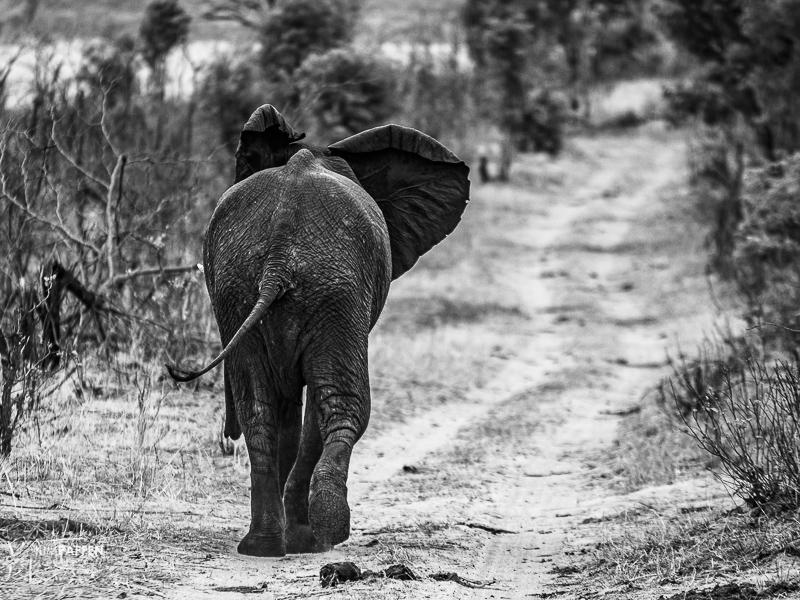 Elephant in Zambezi National Park Zimbabwe