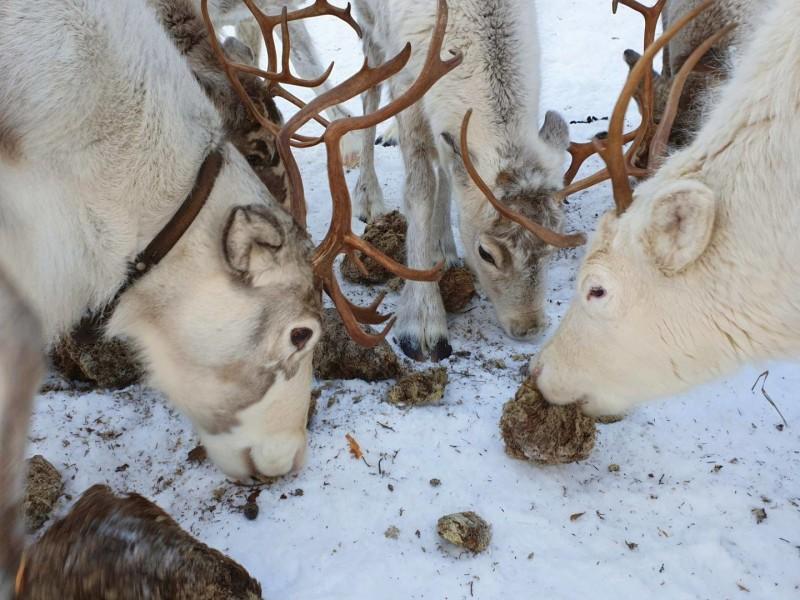 Rendieren in Zweeds Lapland