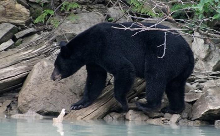 Beren spotten in Canada met kinderen