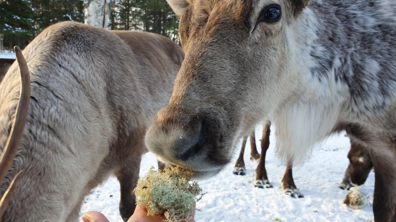 Rendieren voeren met kids in Zweeds Lapland