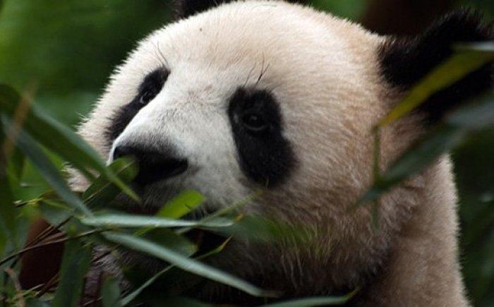 Panda Center Chengdu met kinderen