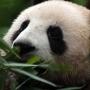 Reuzenpanda's spotten in Chengdu