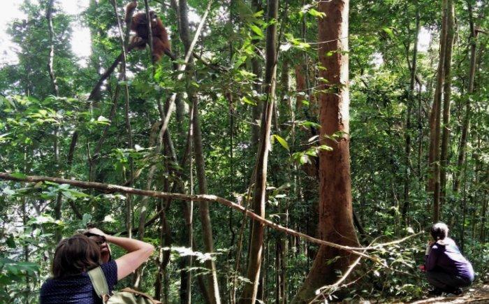 Orang-oetans spotten in Bukit Lawang