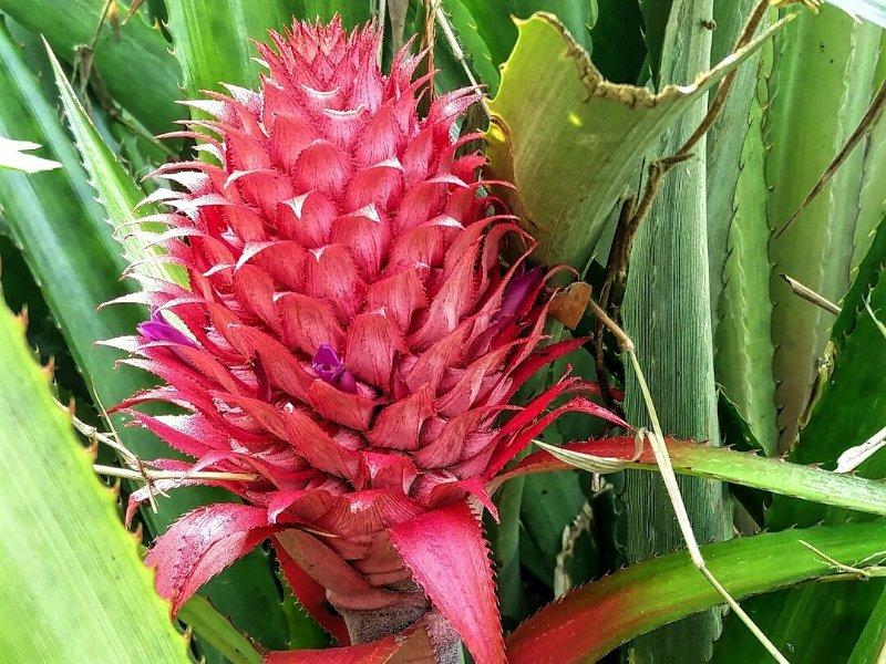 Pink ananas in het wild Sumatra Indonesië