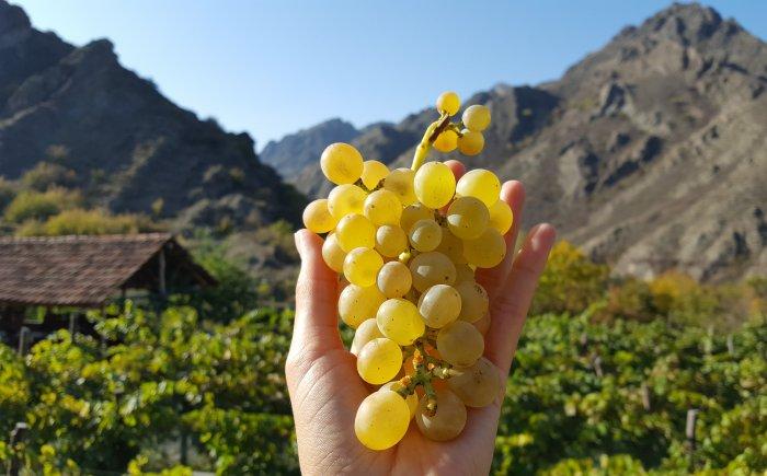 Wijngaard in Chardakhi Georgië