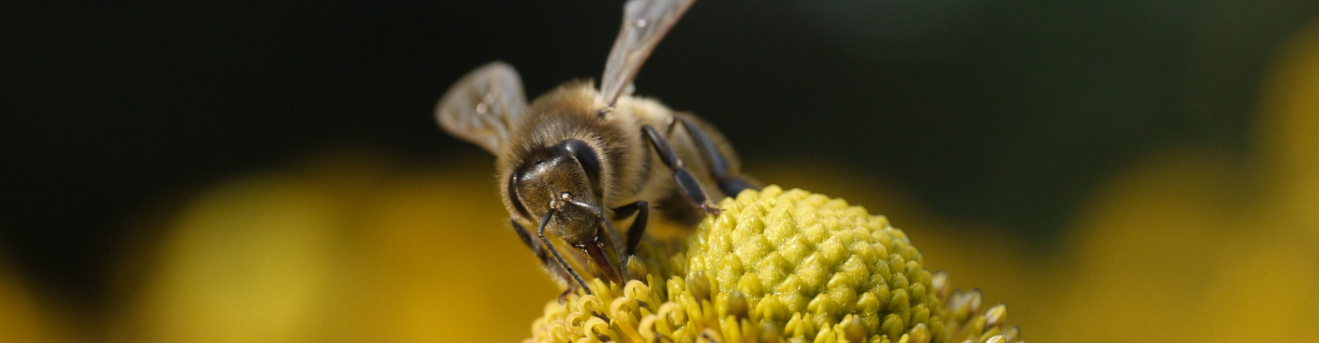 honingbij nederlandse bloem