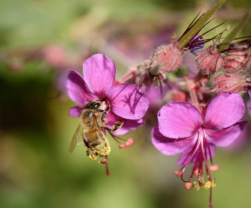 honingbij-op-geranium