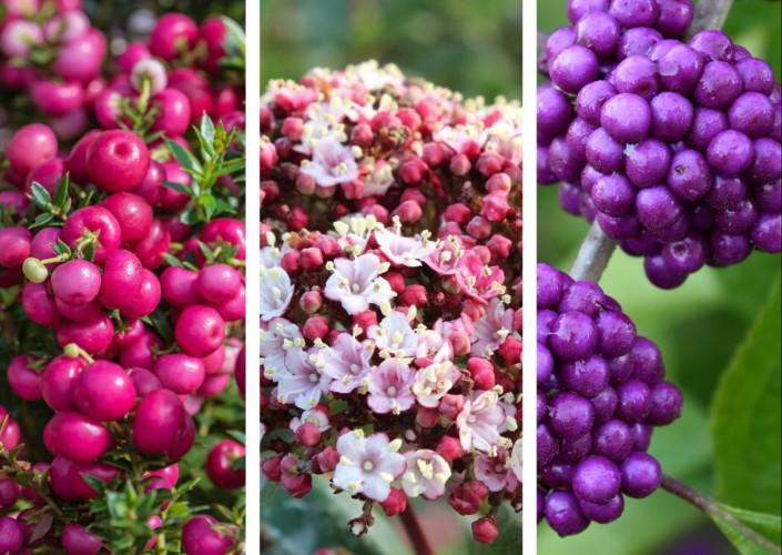 Planten met roze en paarse bessen