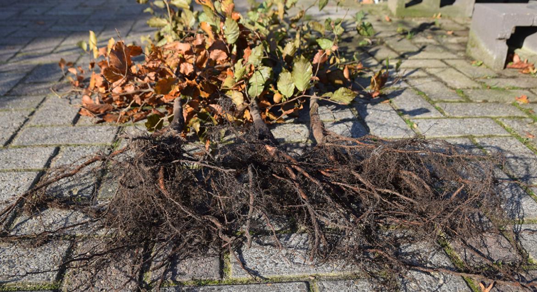 Aanplanten van beuken met losse wortel in maart