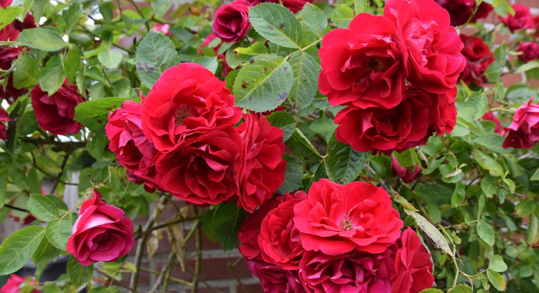 Bladvlekkenziekte rozen voorjaar