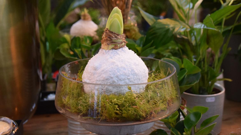 Een Amaryllis bol in bloei zonder grond