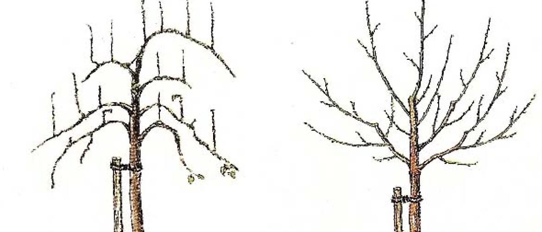 Fruitboom snoeien, hoe en wanneer? | Lepona.nl
