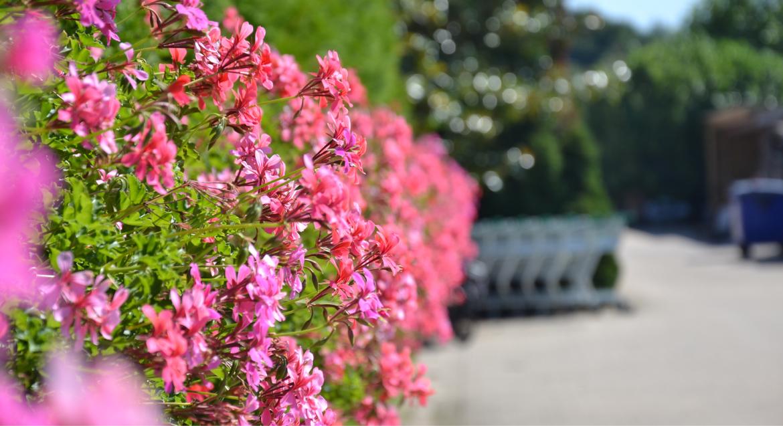 Combineer geraniums met vaste planten