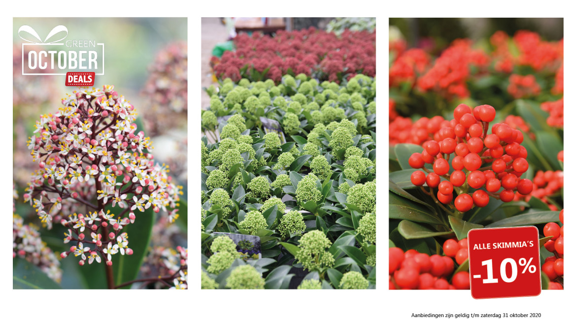 Green October Deal: Skimmia