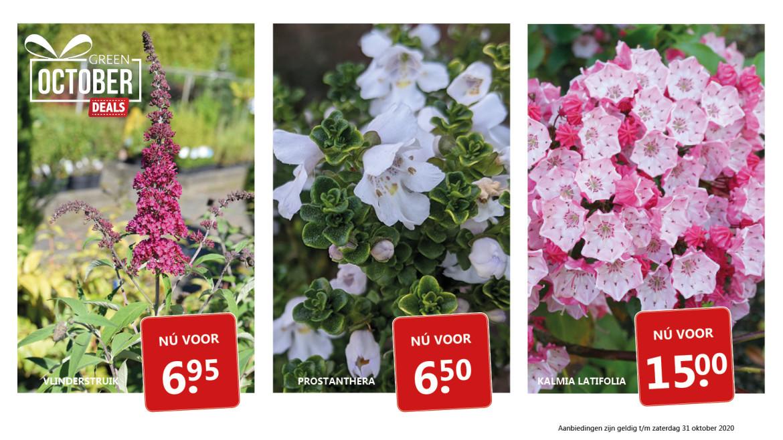 Green October Deals: vlinderstruik - prostanthera - skimmia