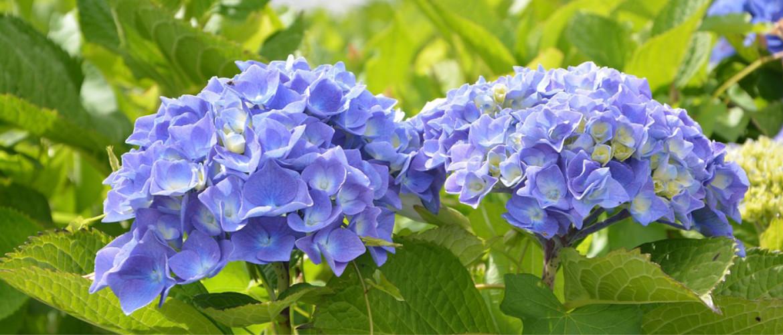 Top 6 mooiste hortensia's