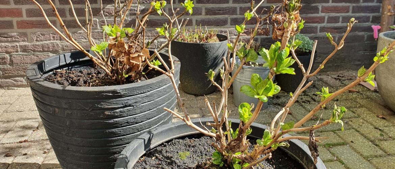 Voorjaarssnoei en gazon herstellen