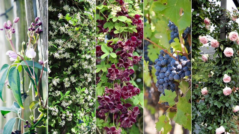 Klimplanten voor je tuin