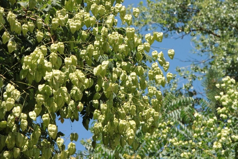 Koelreuteria paniculata - lampionboom