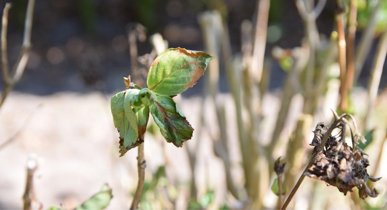 Late vorstschade aan hortensia, bruine bladeren