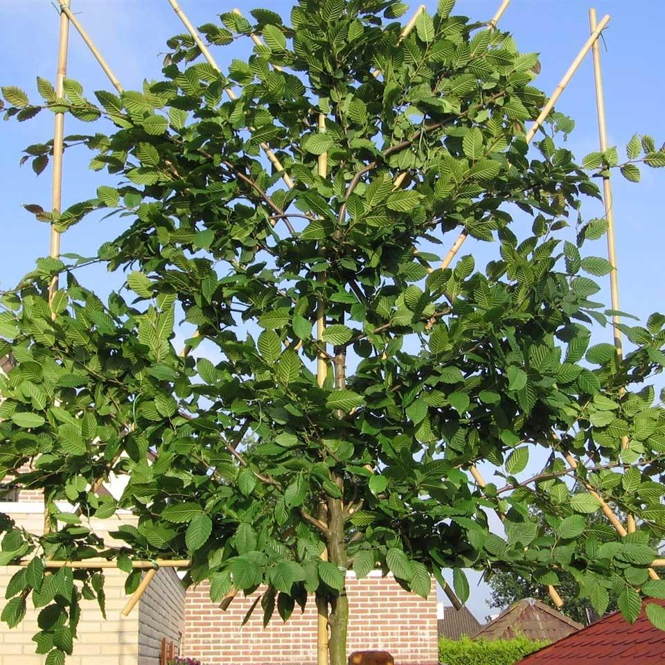Bladverliezende leiboom: Carpinus Betulus (Haagbeuk)
