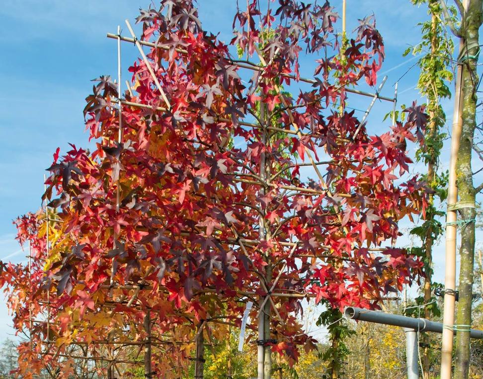 Bladverliezende leiboom: Liquidambar styraciflua (amberboom)