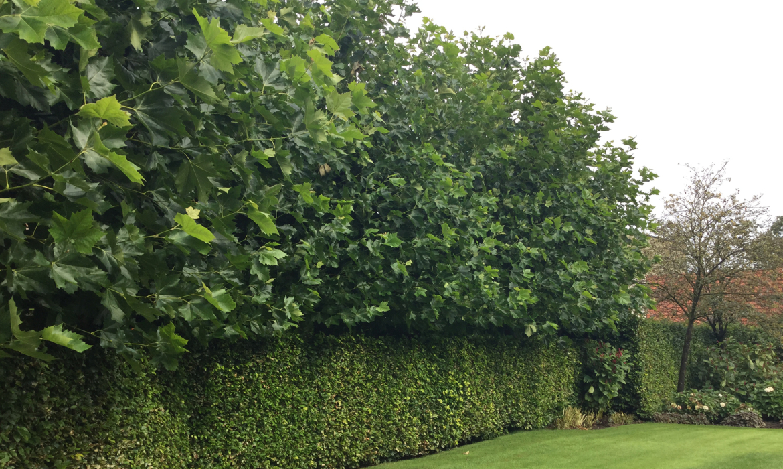 Bladverliezende leiboom: Platanus Acerifolia