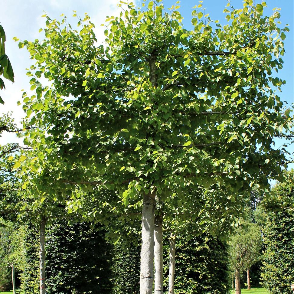 Bladverliezende leiboom: Tilia vulgaris 'pallida'(koningslinde)