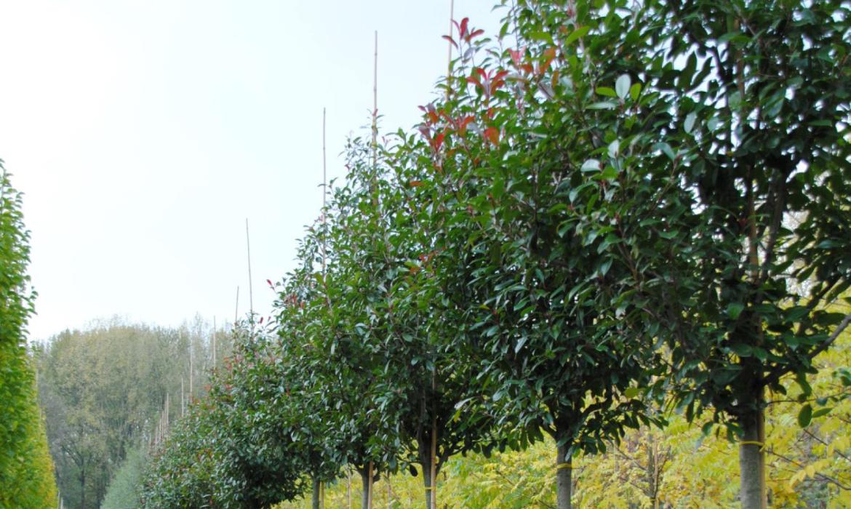 Groenblijvende leiboom: Photinia Fraseri Red Robin (glansmispel)