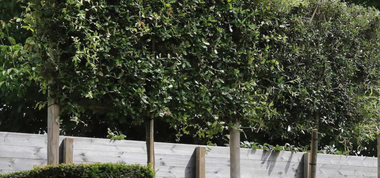 Groenblijvende leiboom: Quercus ilex (steeneik)
