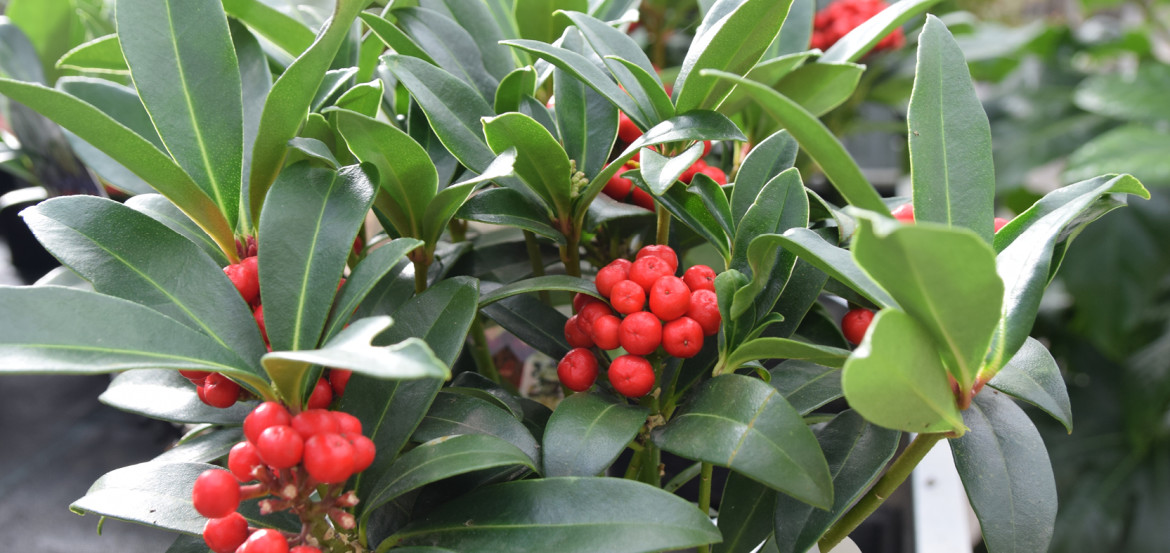 Skimmia soort: Red Berry Bee