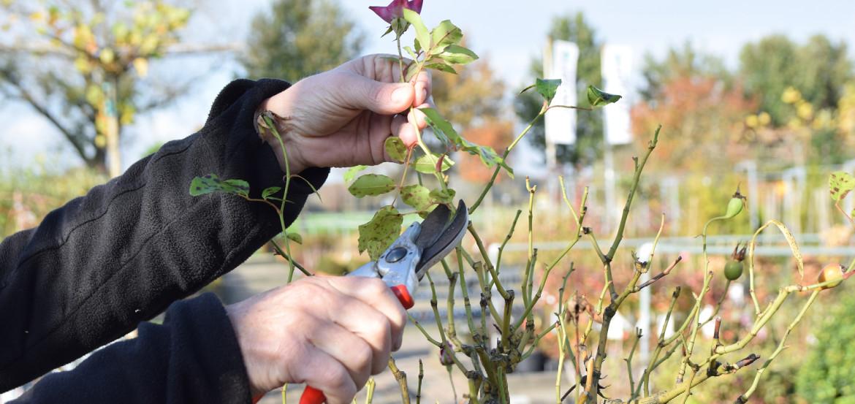 Snoei rozen gedeeltelijk terug in het najaar