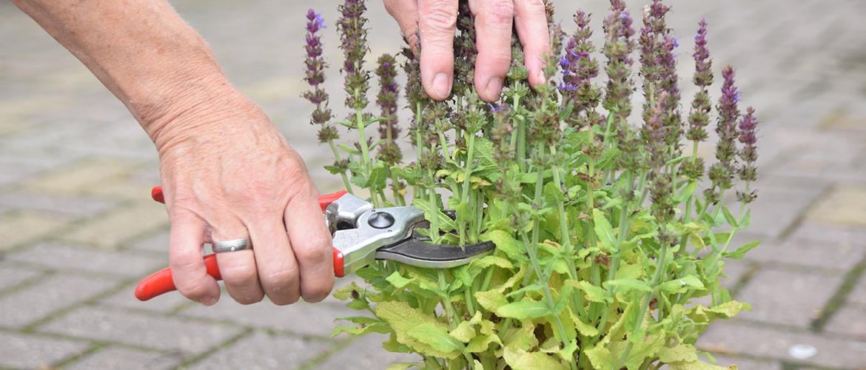 Zo zorg je voor een tweede bloei in de zomer