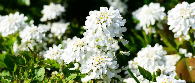 Vergeten planten: Anjer Dianthus soorten én bijenplanten