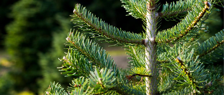 Kerstboom langer mooi houden? Zo doe je dat!