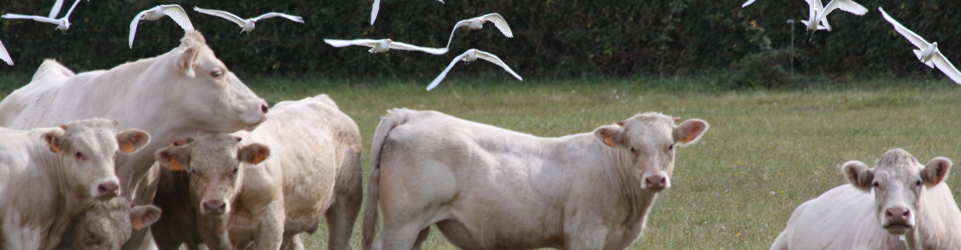 Koeien vogels weiland
