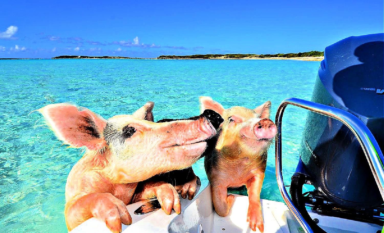 Zwemmende varkens zielsgelukkig