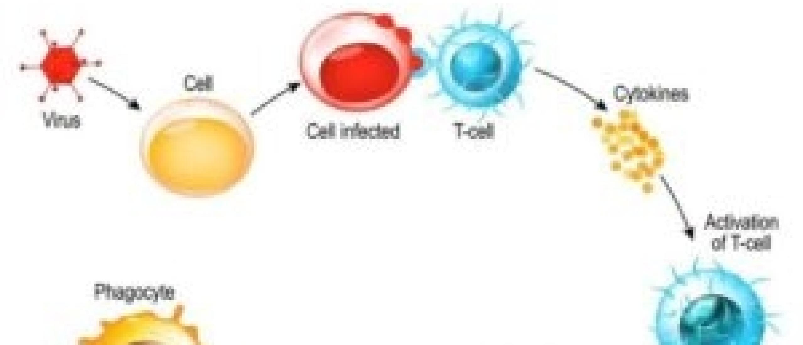 de invloed van PEMF op het immuumsysteem