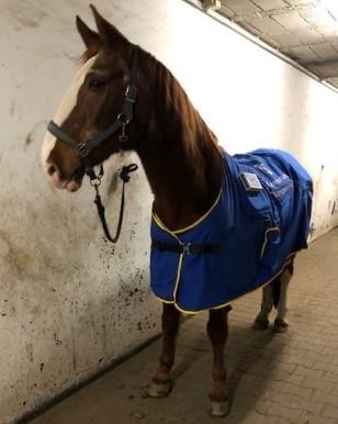 therapulse magneetvelddeken bij een ouder paard