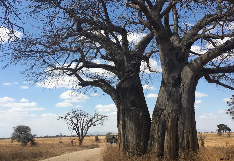 Safari Experience Baobab Tree