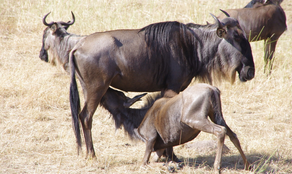 Tour Package Tanzania February Calving Season in Ndutu