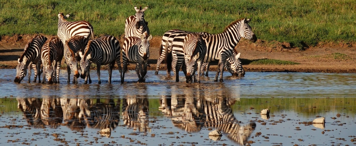 Zebras on a game drive in Tanzania