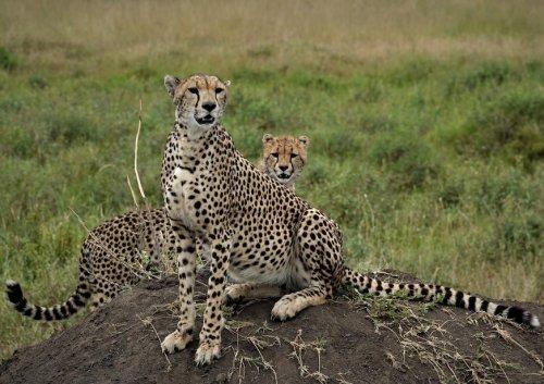 Cheetah Tanzania Africa