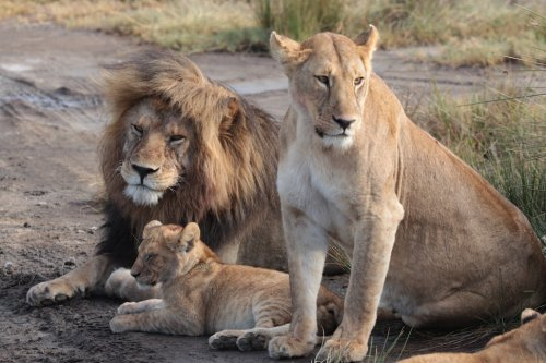 Tanzania Africa Lions